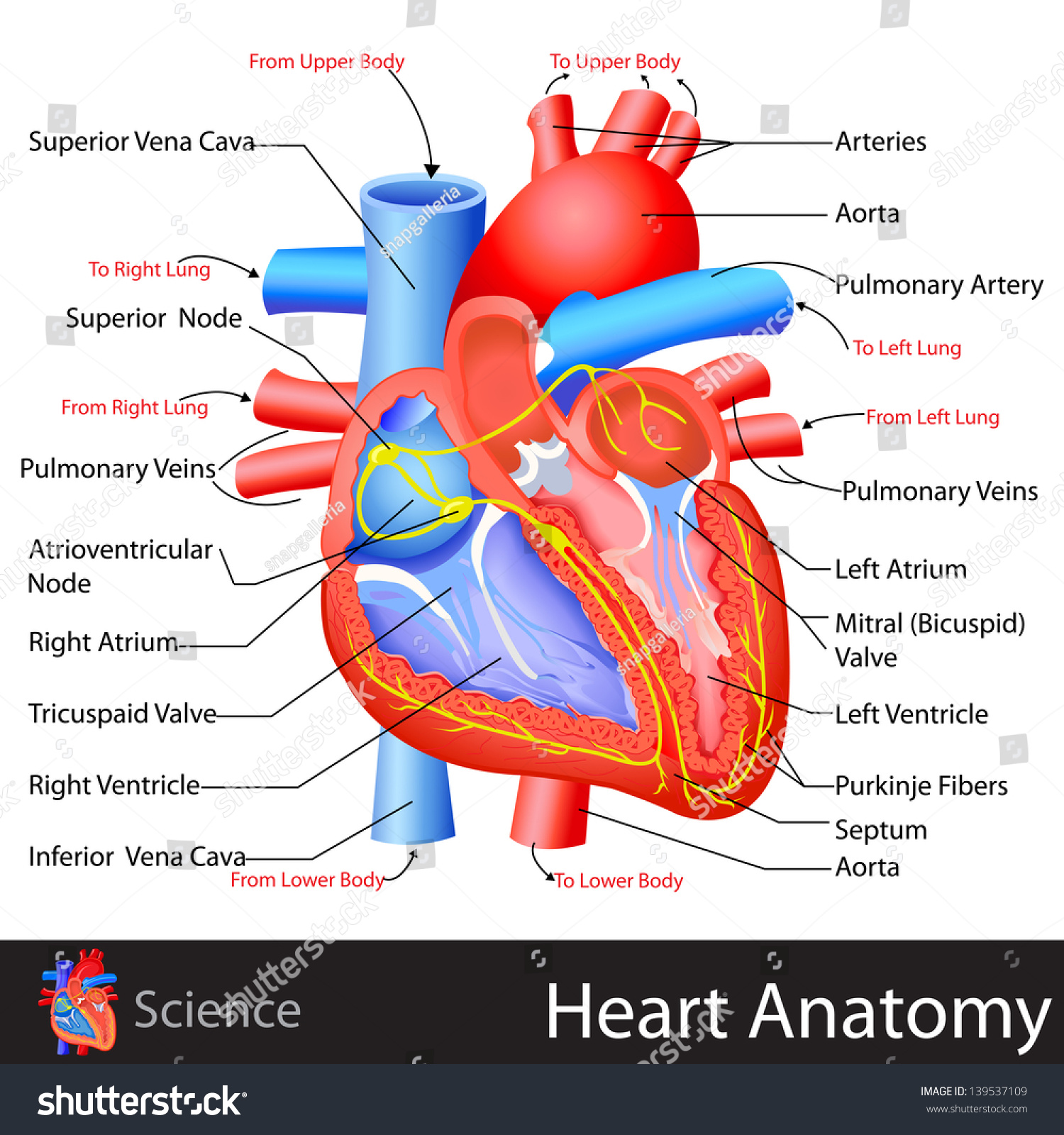 Easy Edit Vector Illustration Anatomy Heart Stock Vector Royalty