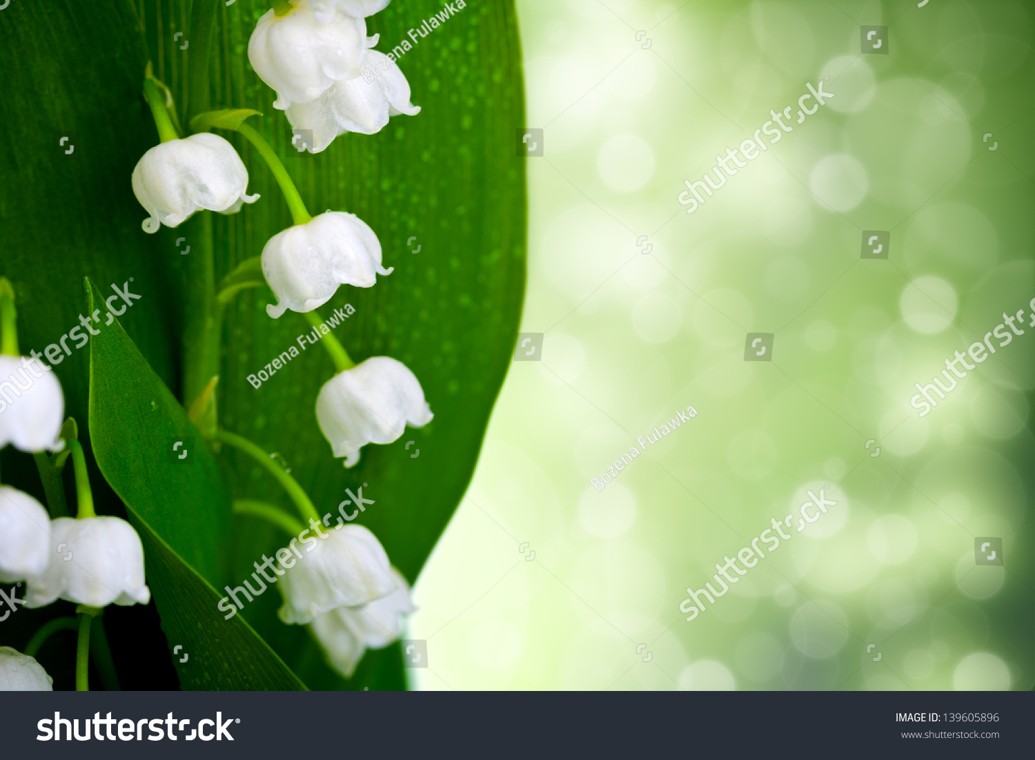 Lily valley flowers water drops on stock photo royalty free lily of the valley flowers with water drops on green background convallaria majalis izmirmasajfo