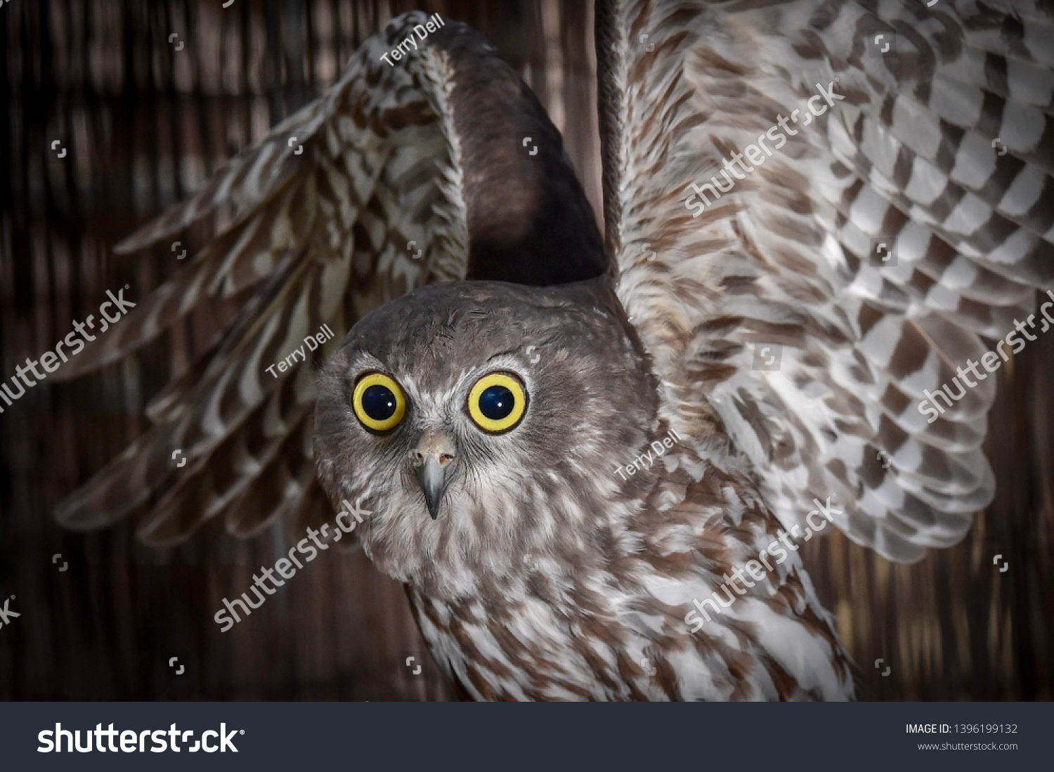 Barking Owl, Owl, Talons, Nocturnal, Birds, Bird, Feathers, Feather, Predator, Predators, Flight, Wings, Eyes, Closeups, #1396199132