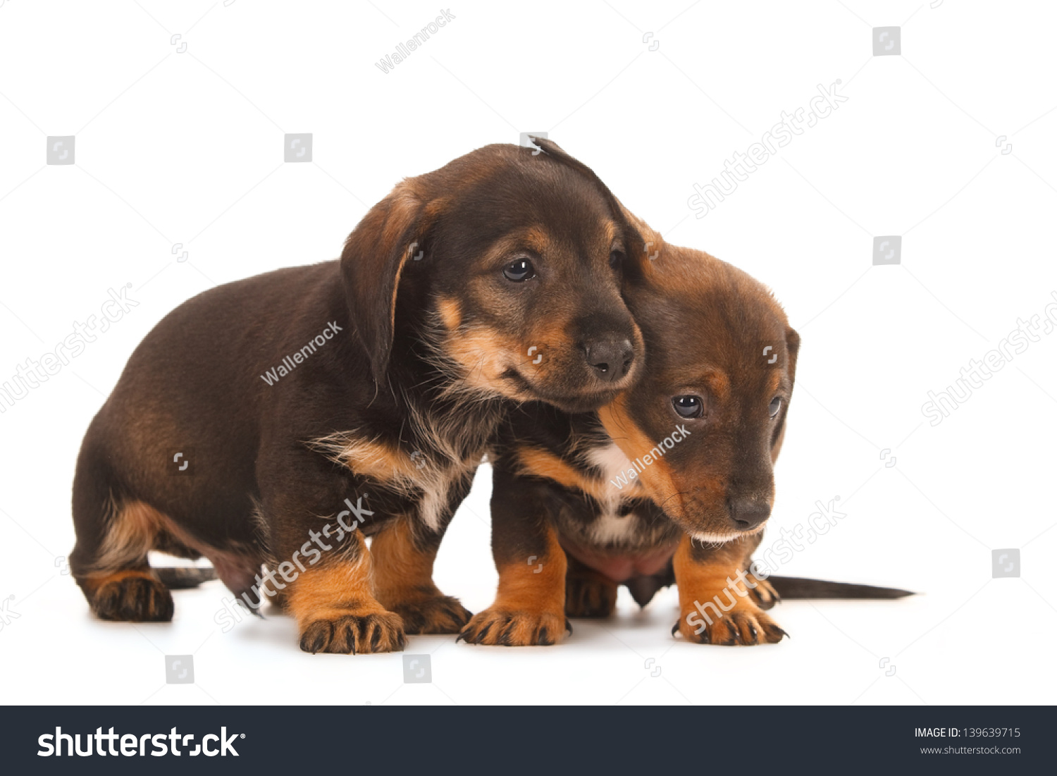 Royalty Free Dachshund Puppies Embracing Together 139639715