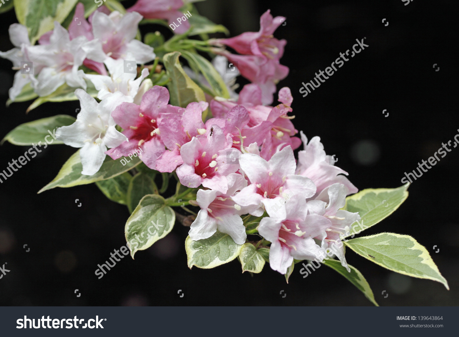 Variegated Weigela Shrub Pink Flowers Stock Photo Edit Now