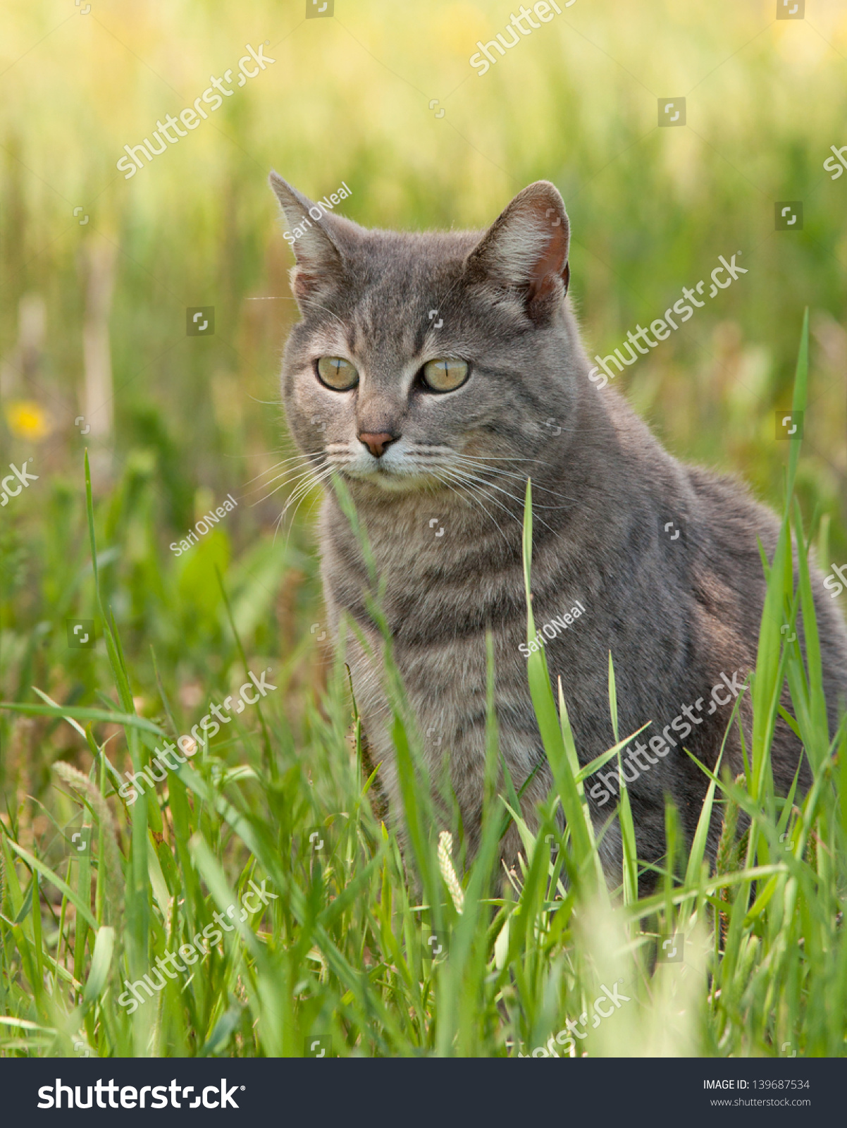 stock-photo-blue-tabby-cat-sitting-in-th
