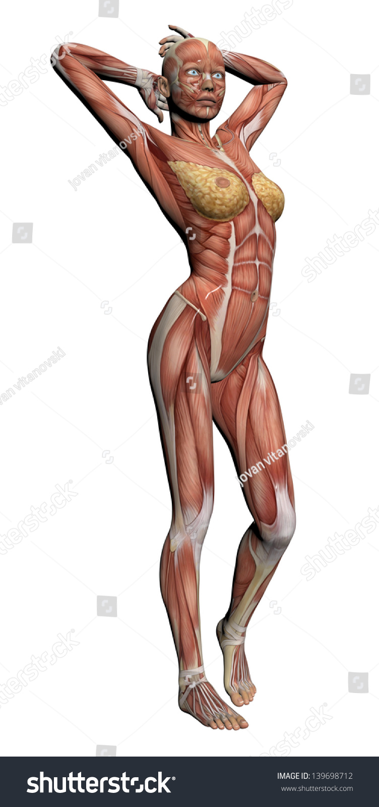 Human Anatomy Female Muscles Made 3 D Stock Illustration Royalty