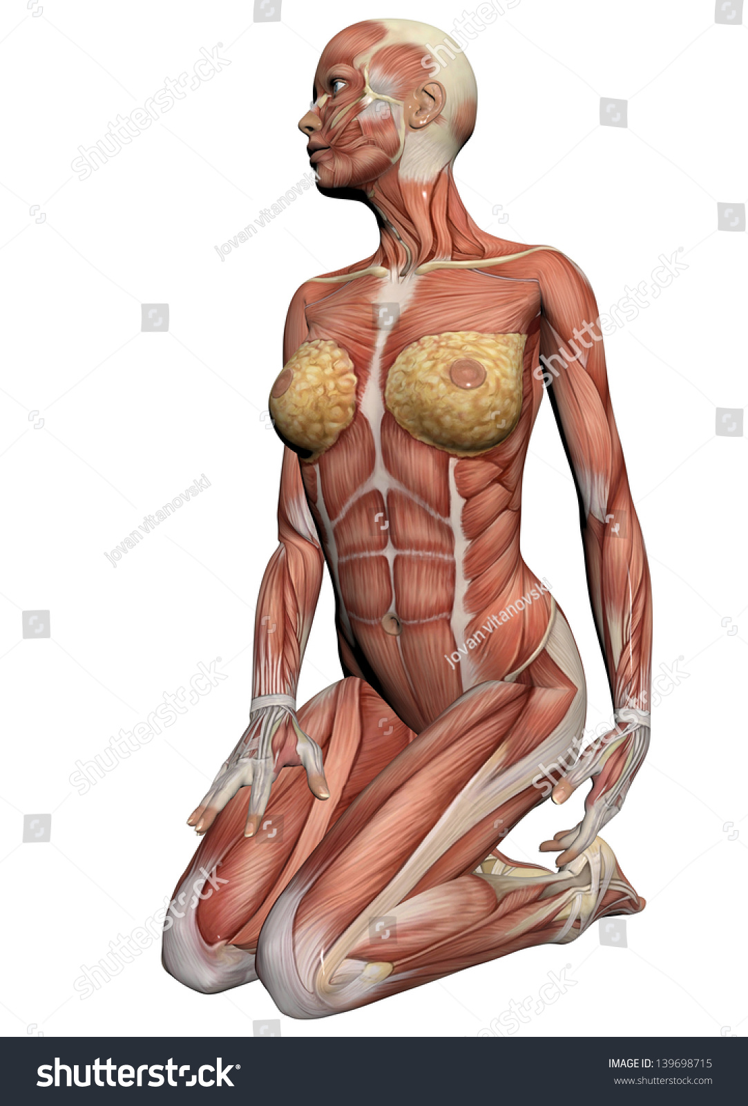 human anatomy female muscles made 3d stock illustration 139698715, Muscles