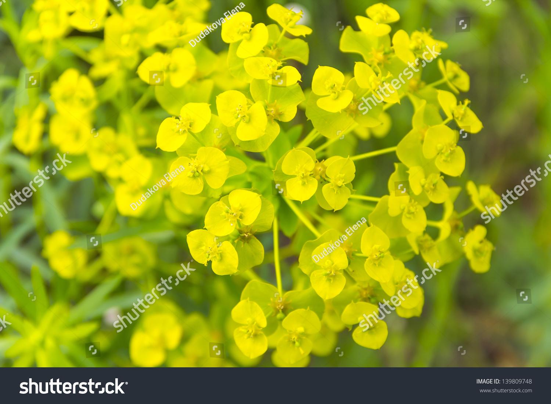 Yellow Poisonous Flower Euphorbia Waldsteinii Gzern Stock Photo