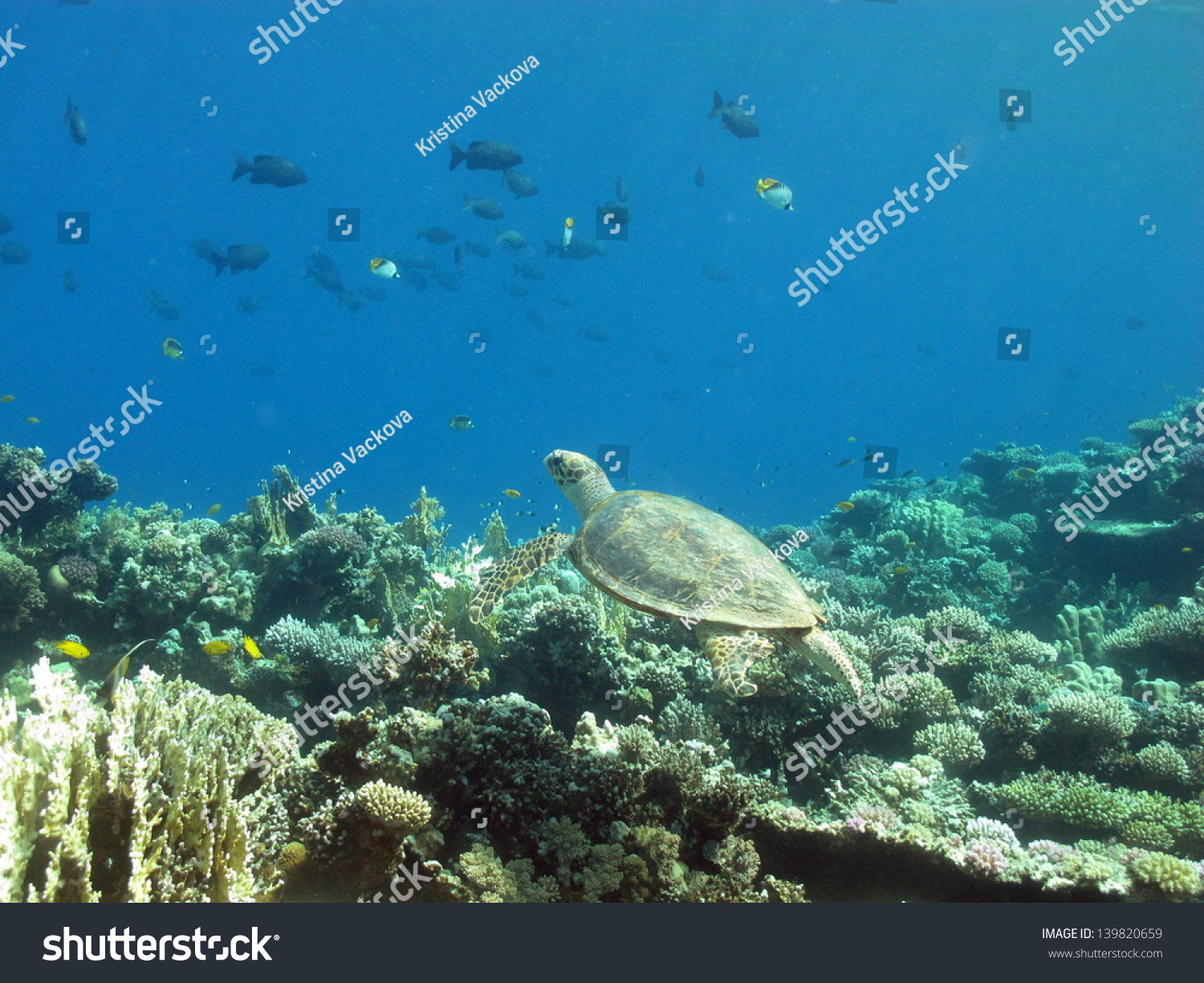 Small Green Turtle Swimming In Shallow Water In Peaceful