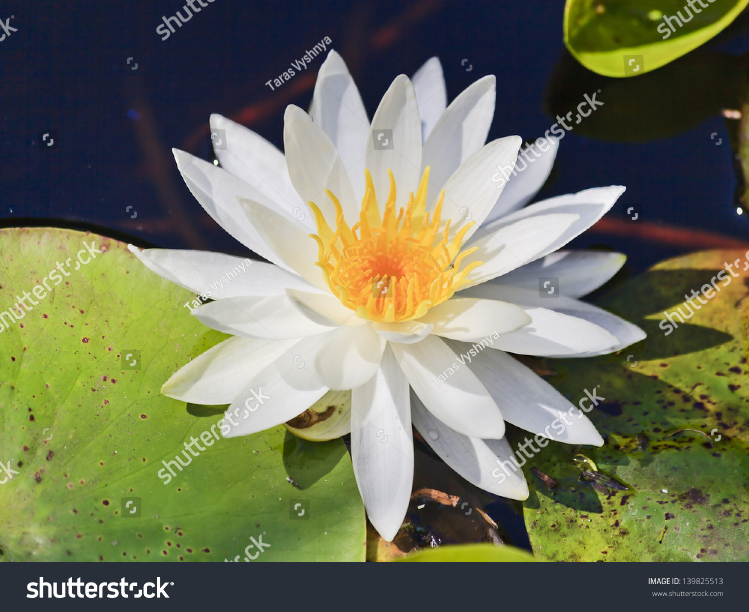 White Snow Lotus Flower Waterlily Blossoming Stock Photo Edit Now