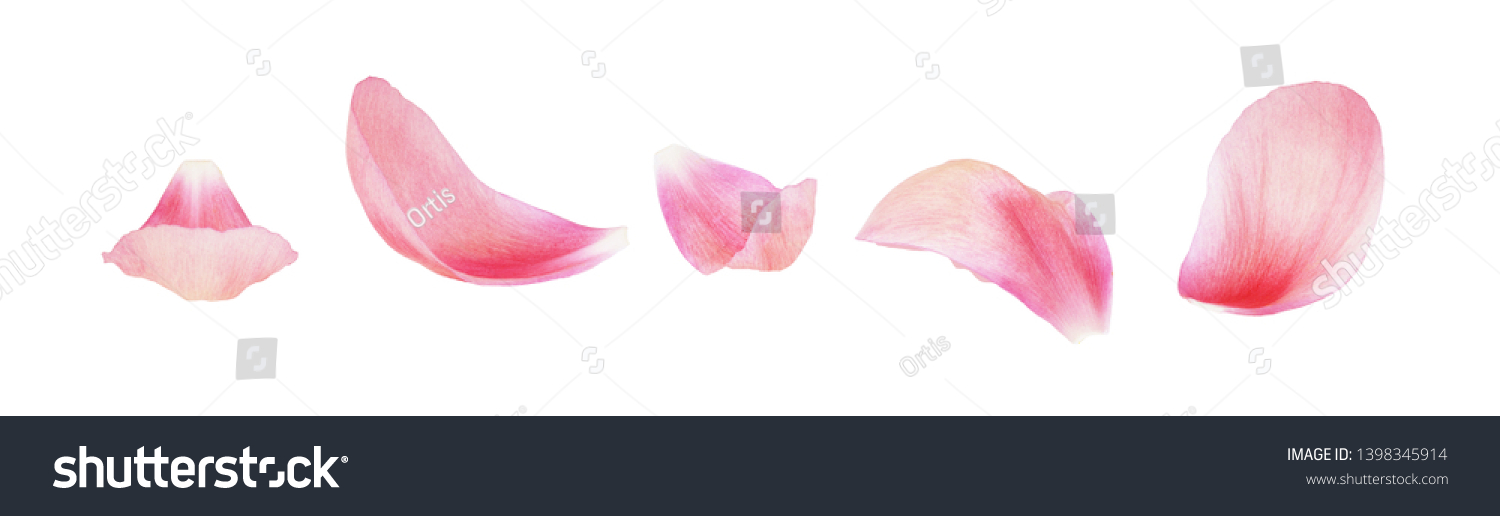 Set of pink peony petals isolated on white #1398345914