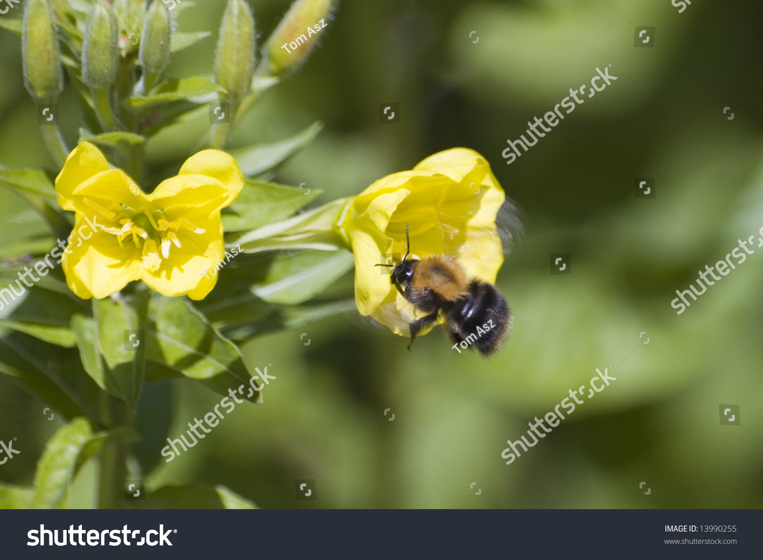 Bumblebee Picking Nectar Yellow Weed Flowers Stock Photo Edit Now