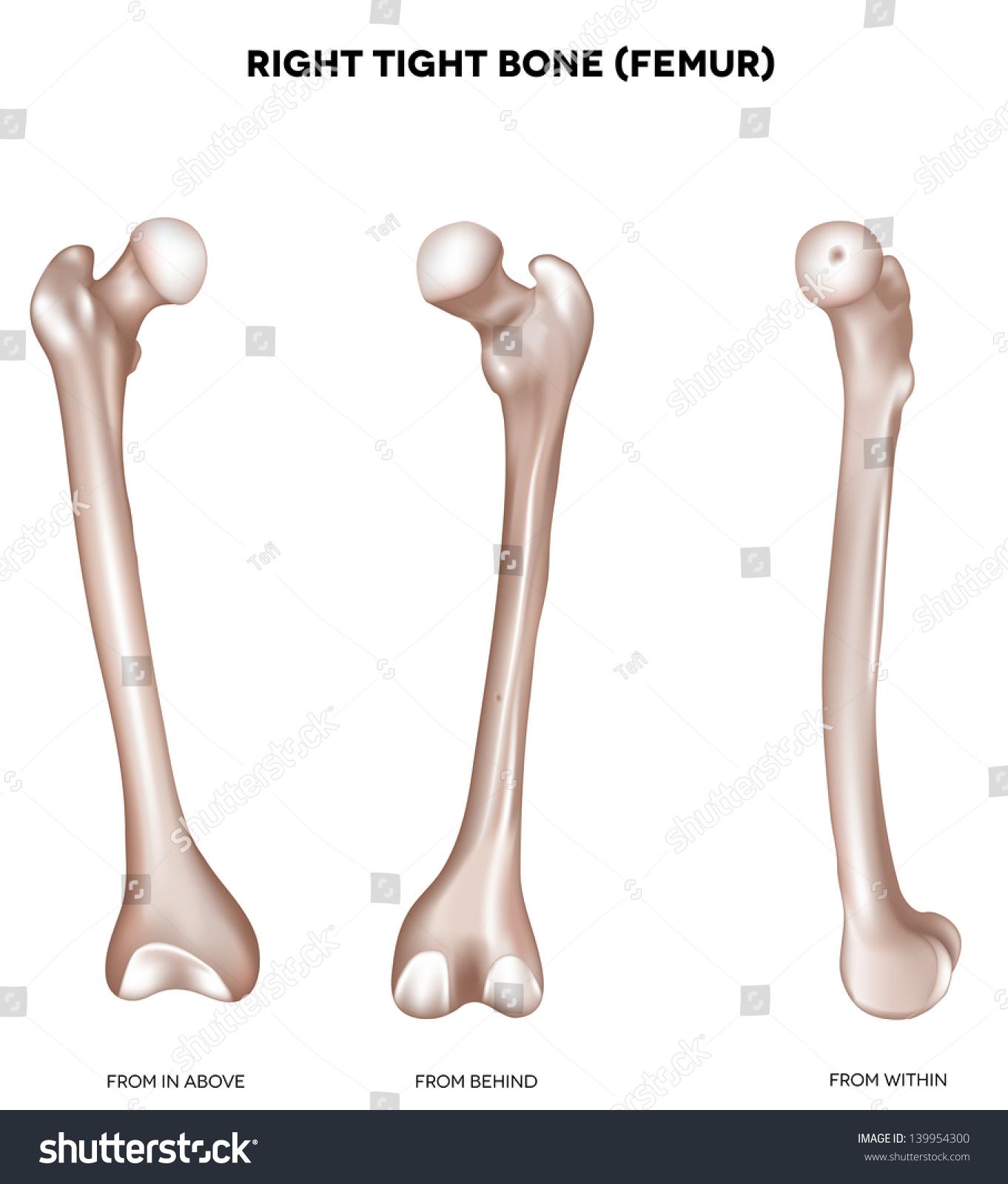Right Tight Bone Femur Bone Lower Stock Vector Royalty Free