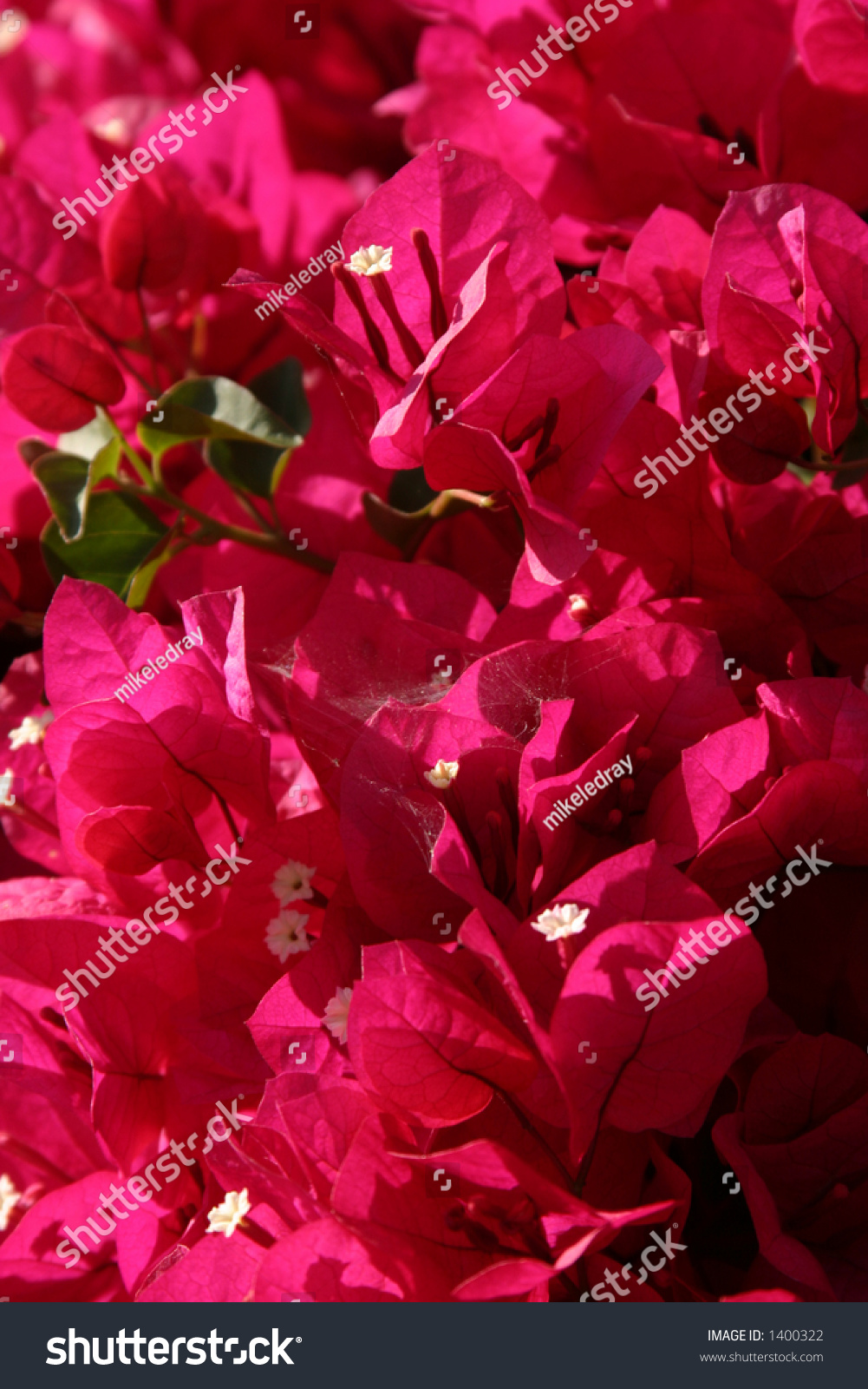 hot pink beauganvilla flowers stock photo   shutterstock, Natural flower