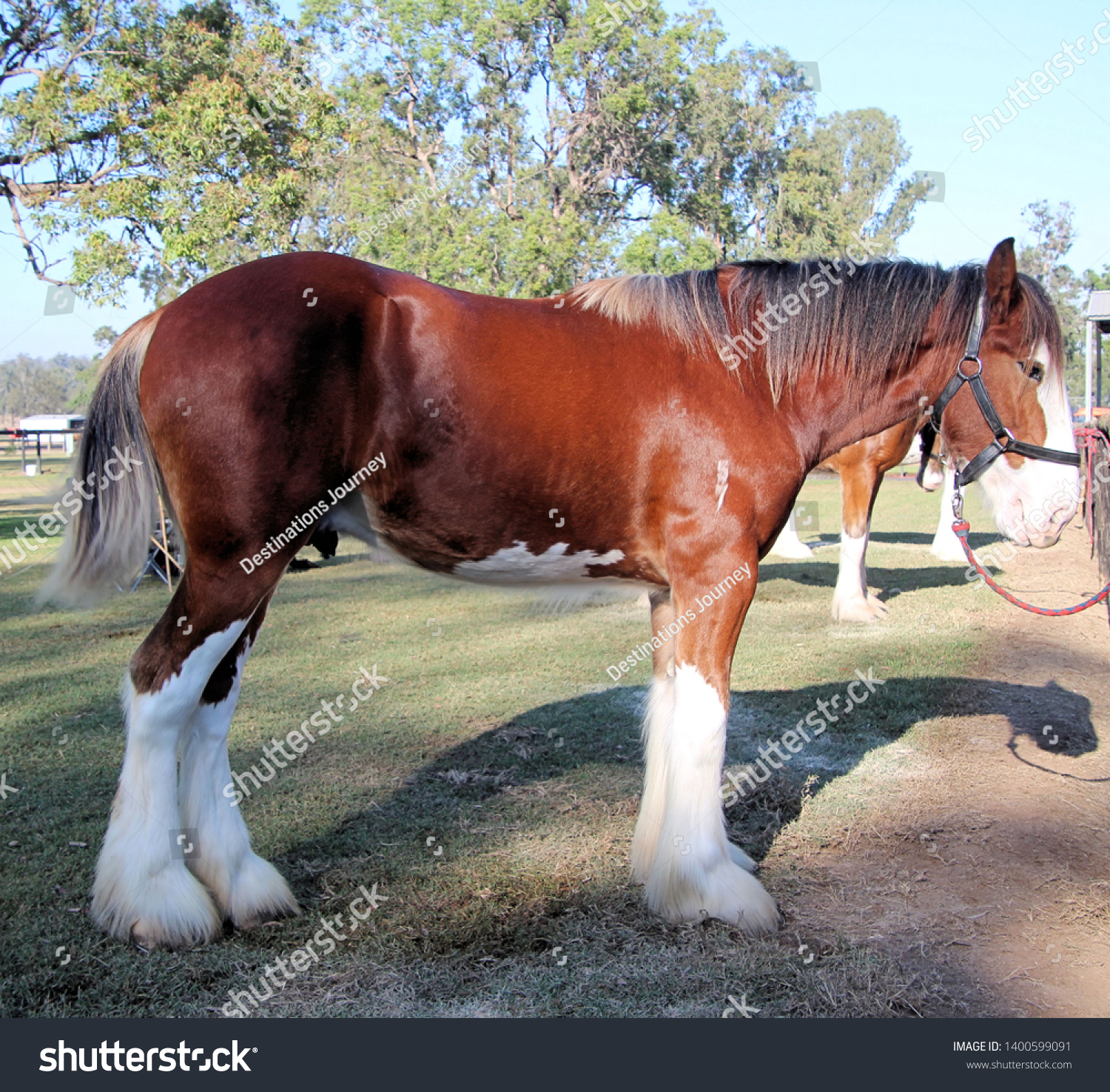 Brown White Clydesdale Heavy Horse Stock Photo Edit Now 1400599091