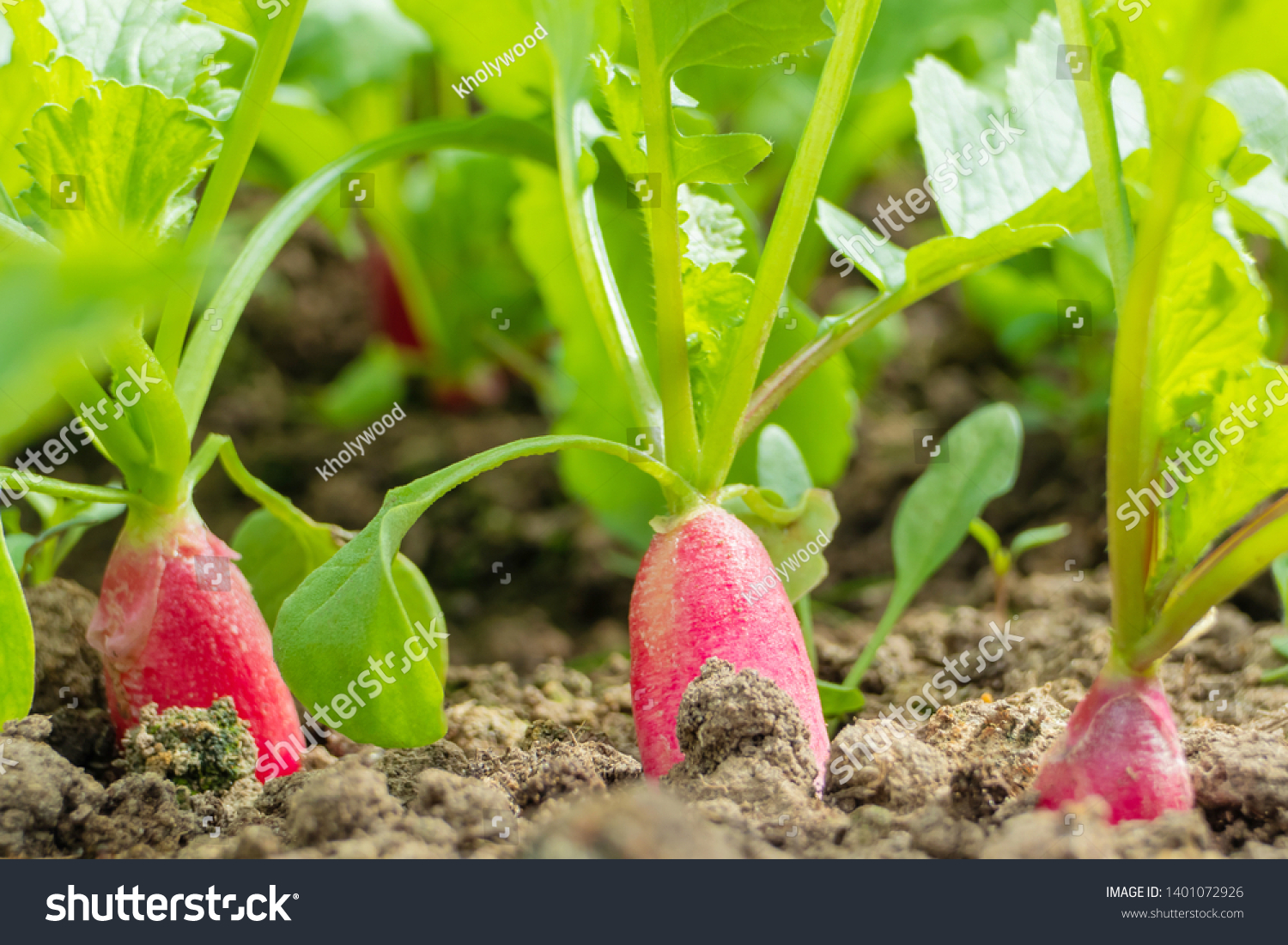 Radish grows in the ground, almost ripe. Macro photography on the theme of vegetable growing, eco-foods, vegetable growing, healthy nutrition. Vegan concept. #1401072926