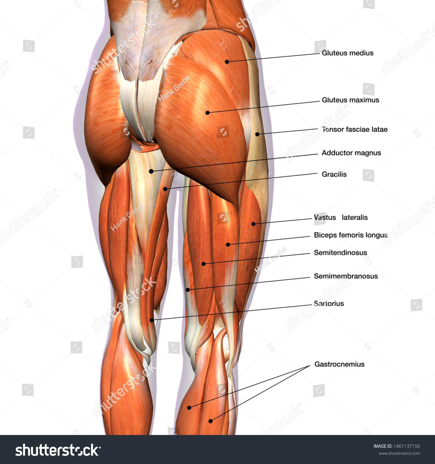 Hip Leg Muscles Labeled Posterior Stock Illustration ... Leg Muscles Diagram on arm diagram, sartorius diagram, leg muscles group, leg muscle chart, anterior compartment of leg, foot muscle diagram, leg cramps, inner ear diagram, achilles tendon, hip diagram, leg parts, leg tendons, leg muscle model, calf muscle diagram, cardiovascular system diagram, leg ligaments, leg workout, iliotibial tract, popliteal fossa, leg bones, upper thigh muscle diagram, calf muscle, leg muscles labeled, foot nerves diagram, leg nerves,