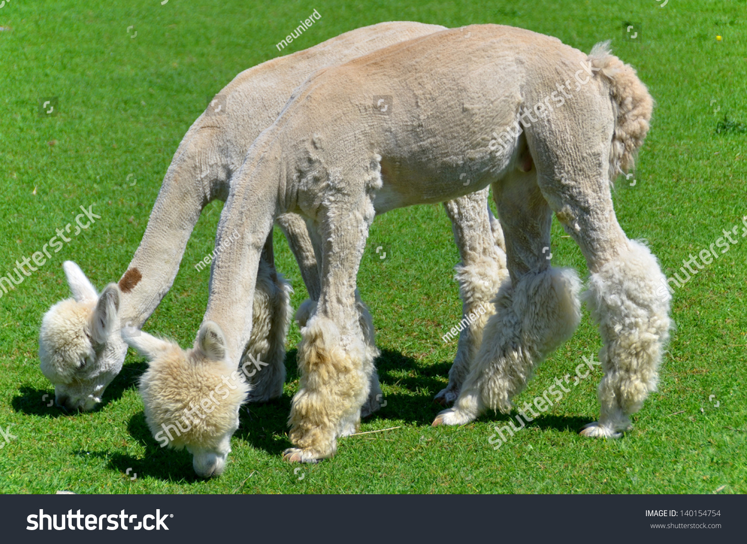 Alpaca Who Resemble A Small Llama In Appearance And Whose Wool ...