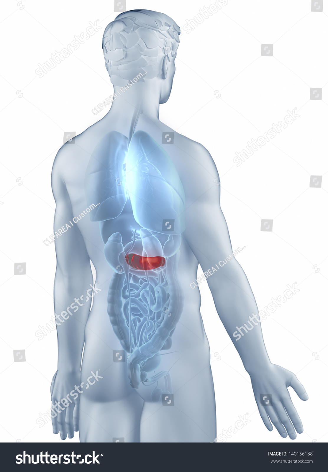 Pancreas Position Anatomy Man Isolated Posterior View Stock Photo 140156188   Shutterstock