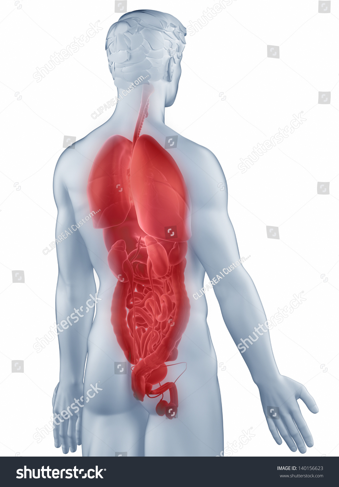 3d Illustration Of Human Body Organs Lungs Ez Canvas