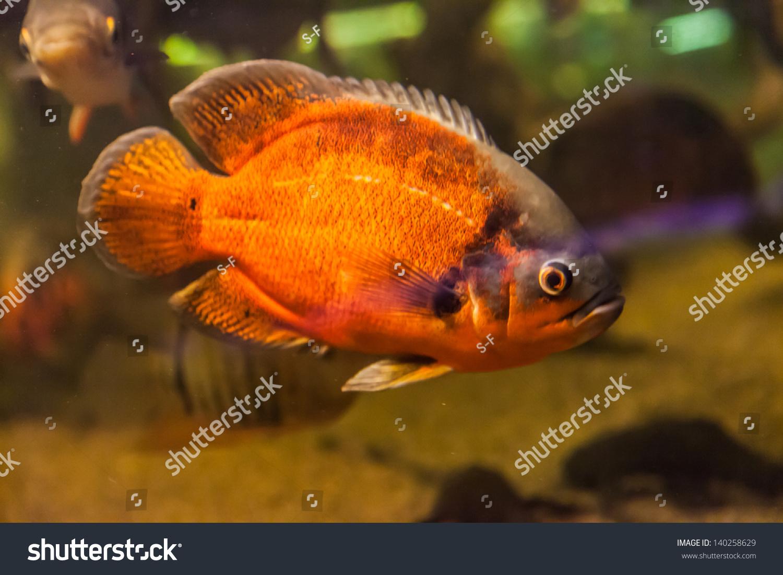 Freshwater aquarium fish piranha - Shoal Of Tropical Piranha Fishes In Freshwater Aquarium