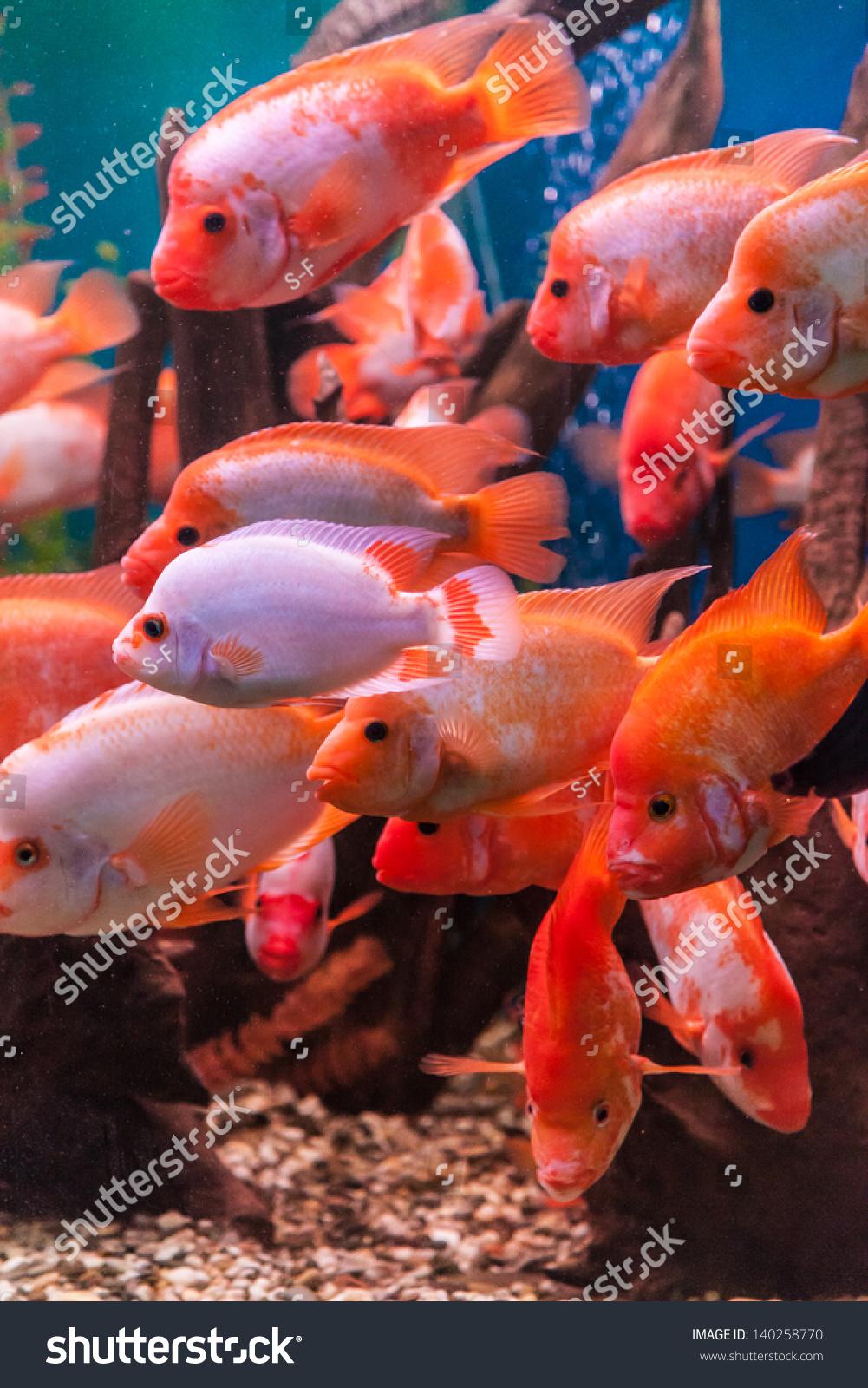 Tropical Freshwater Aquarium Big Red Fish Stock Photo (Royalty Free ...