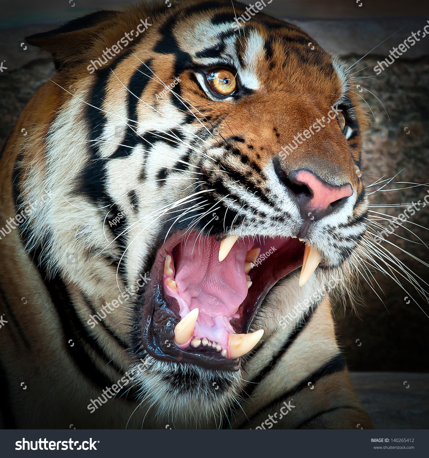 Close Tiger Get Angry Looking Mad Stock Photo 140265412 ...