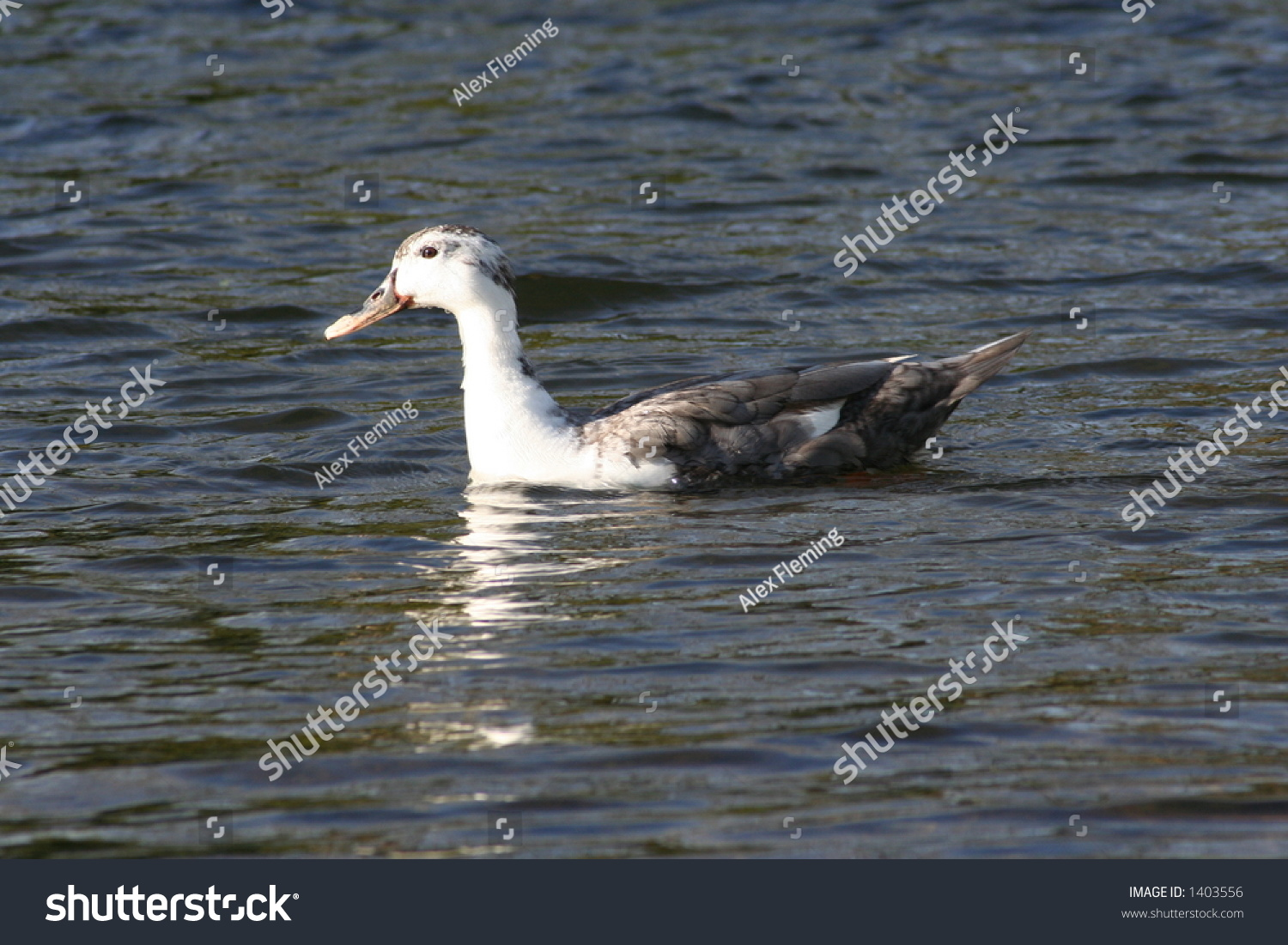 Duck Swimming In The River Stock Photo 1403556 : Shutterstock