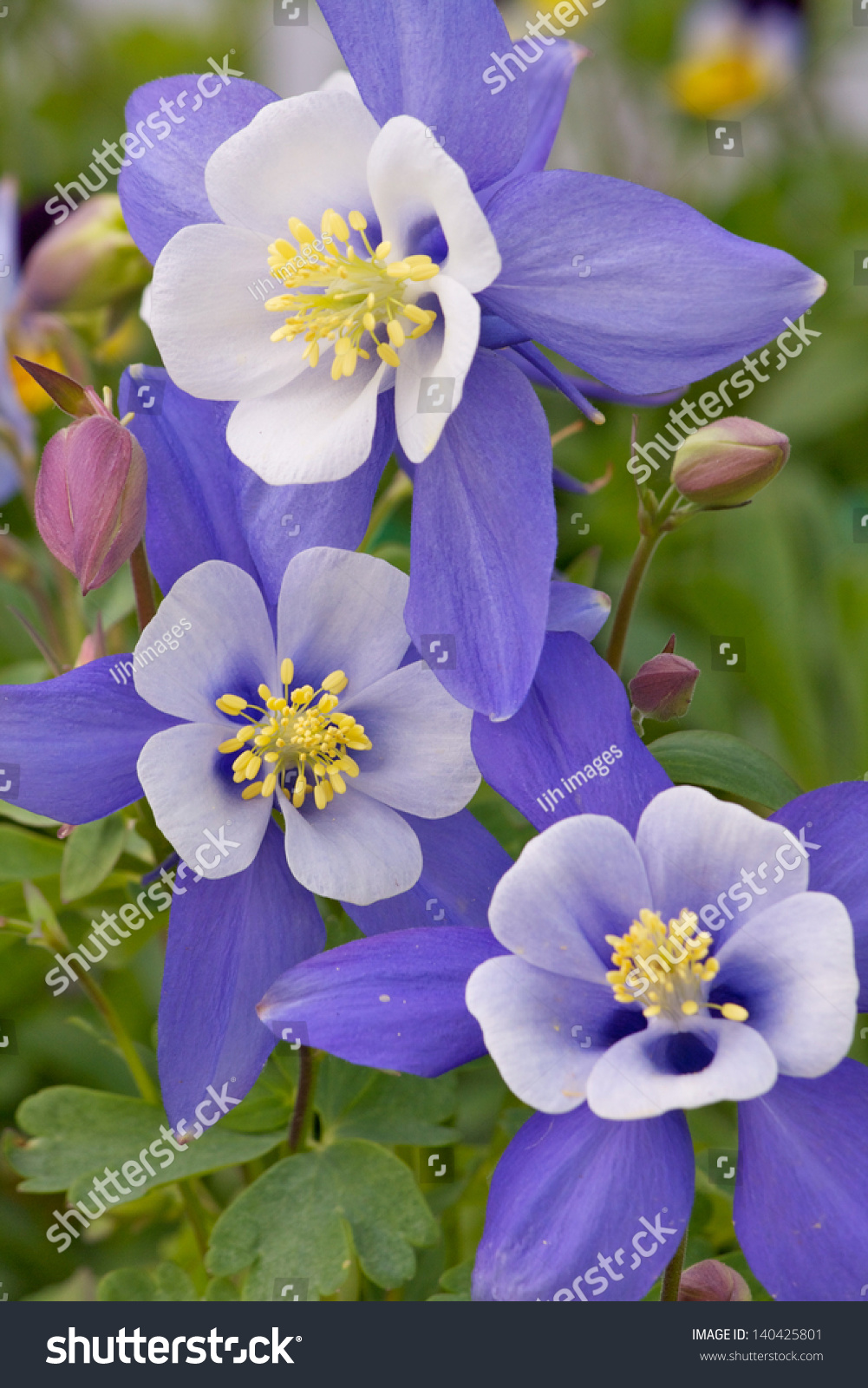 Colorado columbine beautiful state flower colorado stock photo colorado columbine beautiful state flower of colorado a grouping of three flowers the colors izmirmasajfo