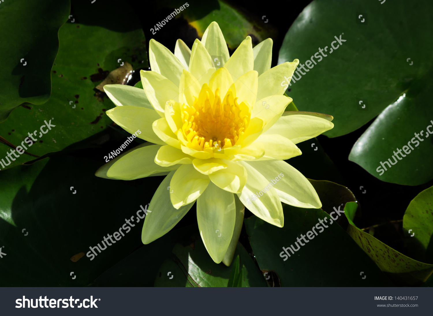 Blossom Lotus Flower Thailand Pond Focus Stock Photo Edit Now