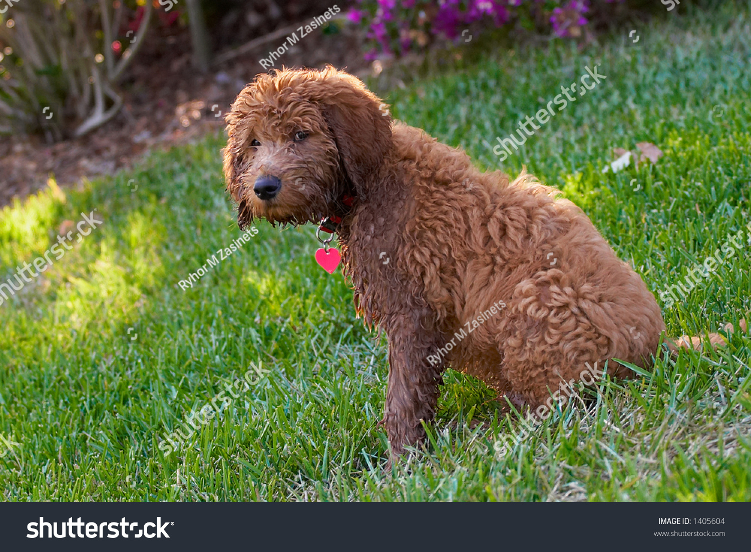 Small Variety Of A Curly Haired Dog