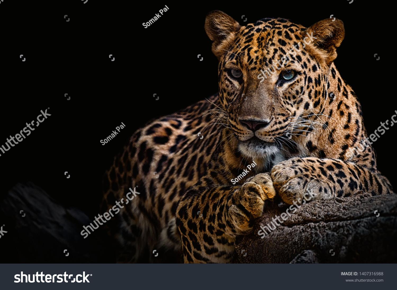 Leopard resting on a log against a black background #1407316988