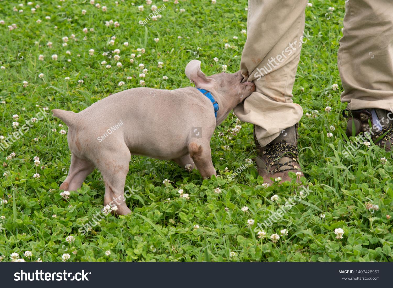 stock-photo-weimaraner-puppy-tugging-and