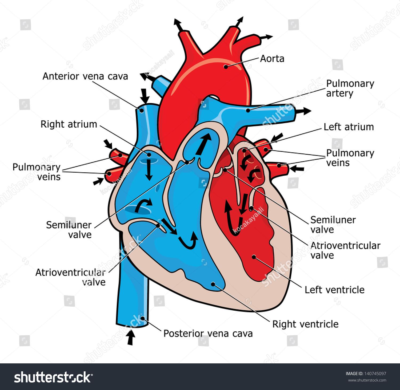 Anatomy Human Heart Stock Illustration 140745097 Shutterstock