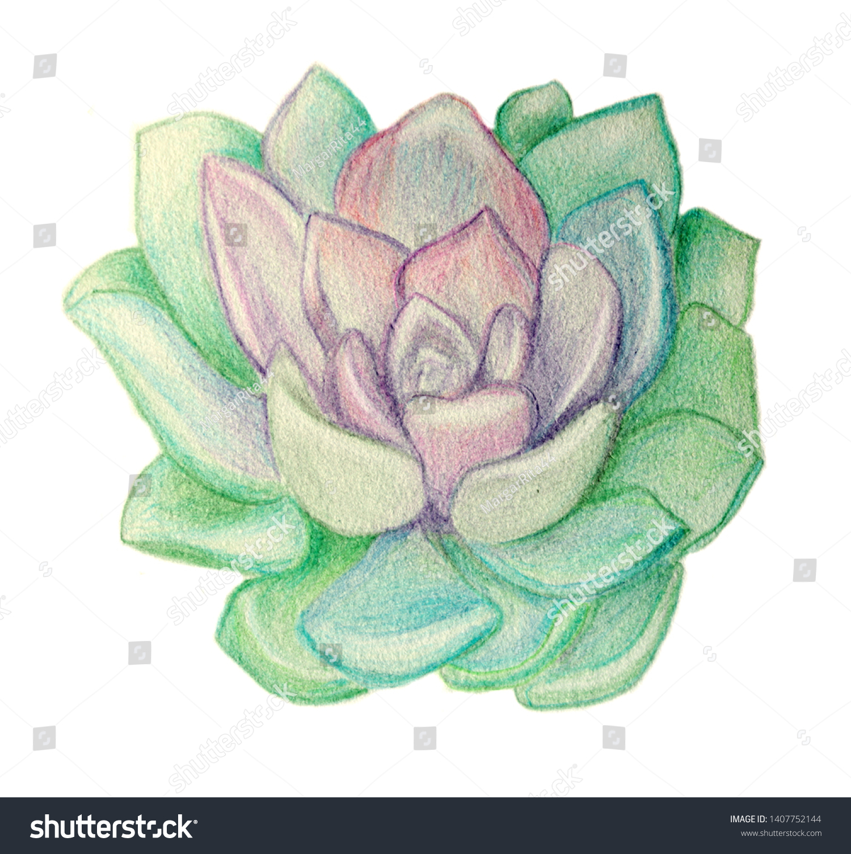 Drawing Colored Pencils Succulent Echeveria Stone Stock Illustration 1407752144