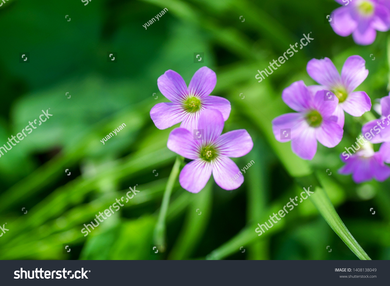 Oxalis Corymbosa Perennial Plant Growing About Stock Photo Edit