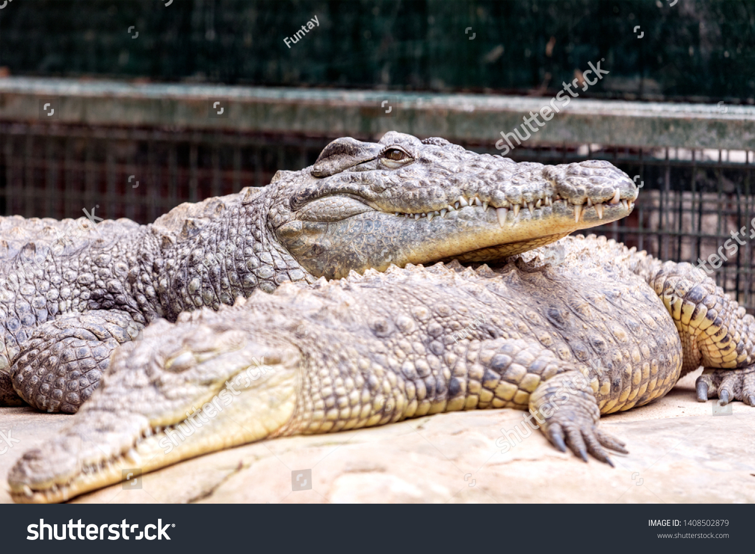 View of Nile crocodiles are resting. Nile crocodiles are opportunistic apex predators; a very aggressive species of crocodile, they are capable of taking almost any animal within their range. #1408502879