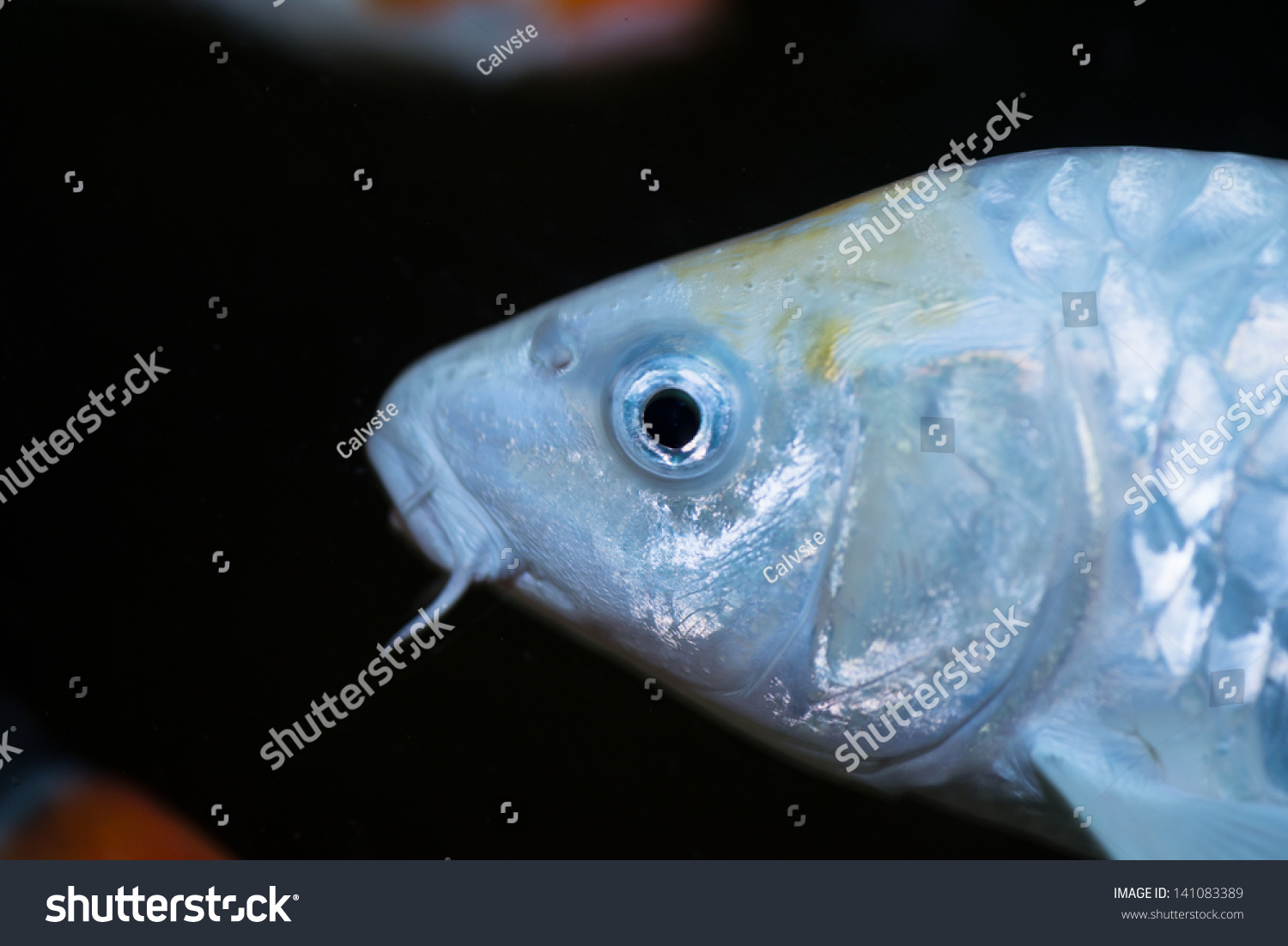 White koi fish side view close up stock photo 141083389 for What sides go with fish