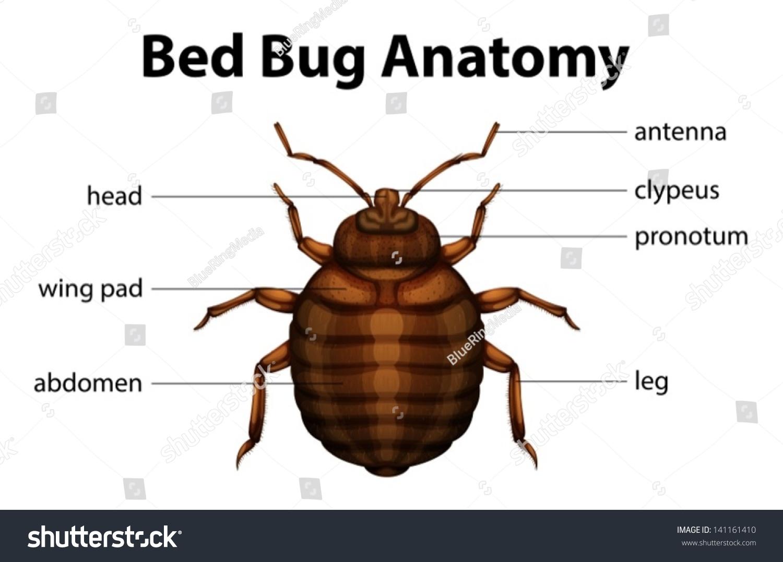 Illustration Bed Bug Anatomy Stock Vector (Royalty Free) 141161410 ...