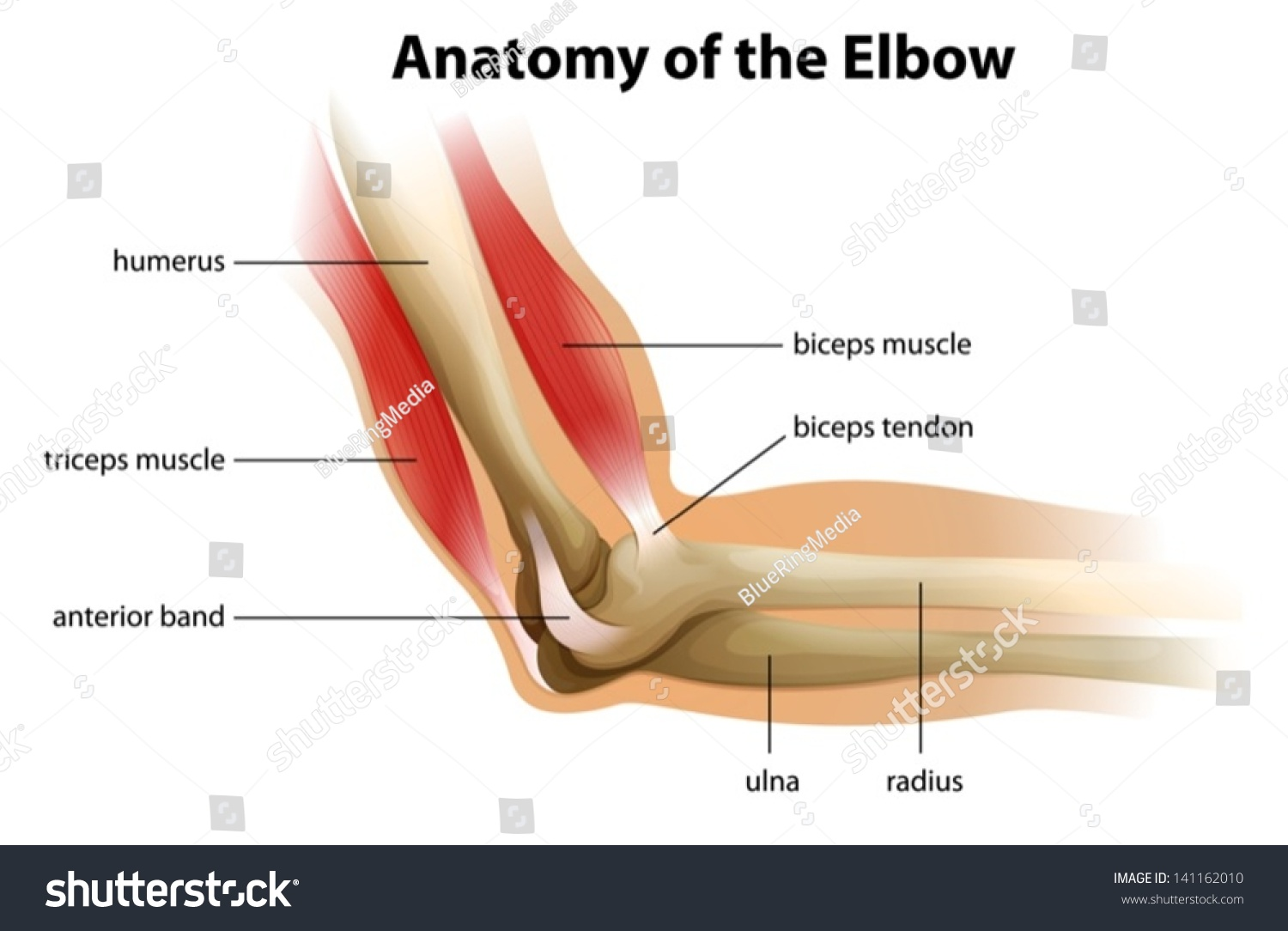 Illustration Showing Anatomy Human Elbow Stock Vector (Royalty Free ...