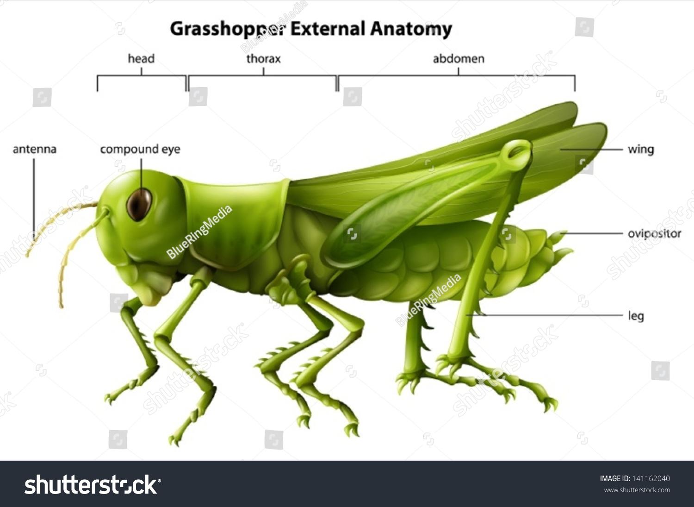 Illustration Showing External Anatomy Grasshopper Stock Vector HD ...