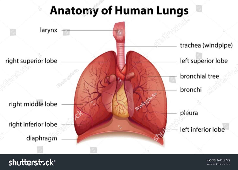 Illustration Human Respiratory System Stock Vector Royalty Free