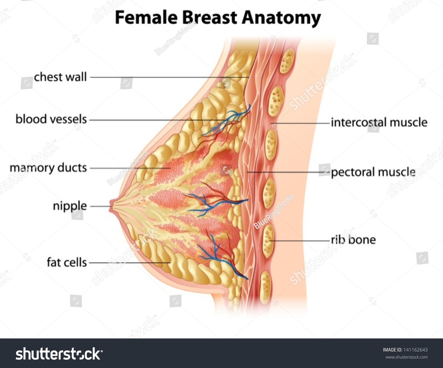 Stock Vector Illustration Showing The Female Breast Anatomy
