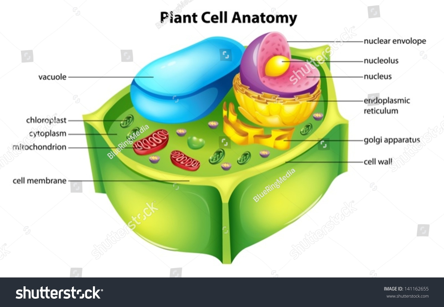 Illustration Showing Plant Cell Anatomy Stock Vector Shutterstock