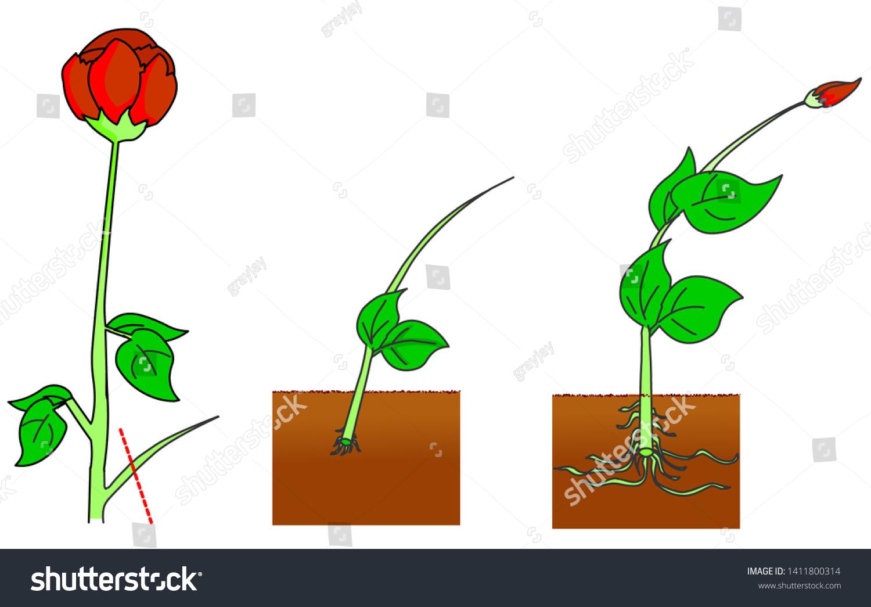 Vegetative Propagation Types Plants Roses Reproduction Stock Vector Royalty Free 1411800314