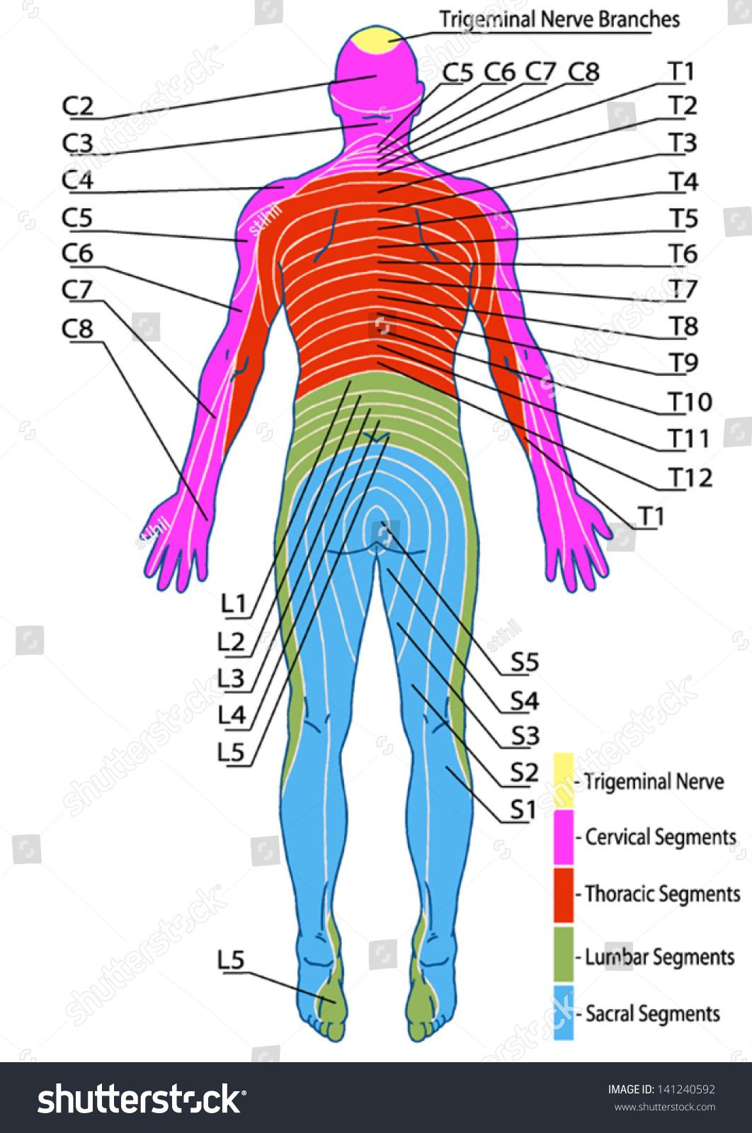 Drawing Medical Didactic Board Anatomy Human Stock Vector 141240592 ...