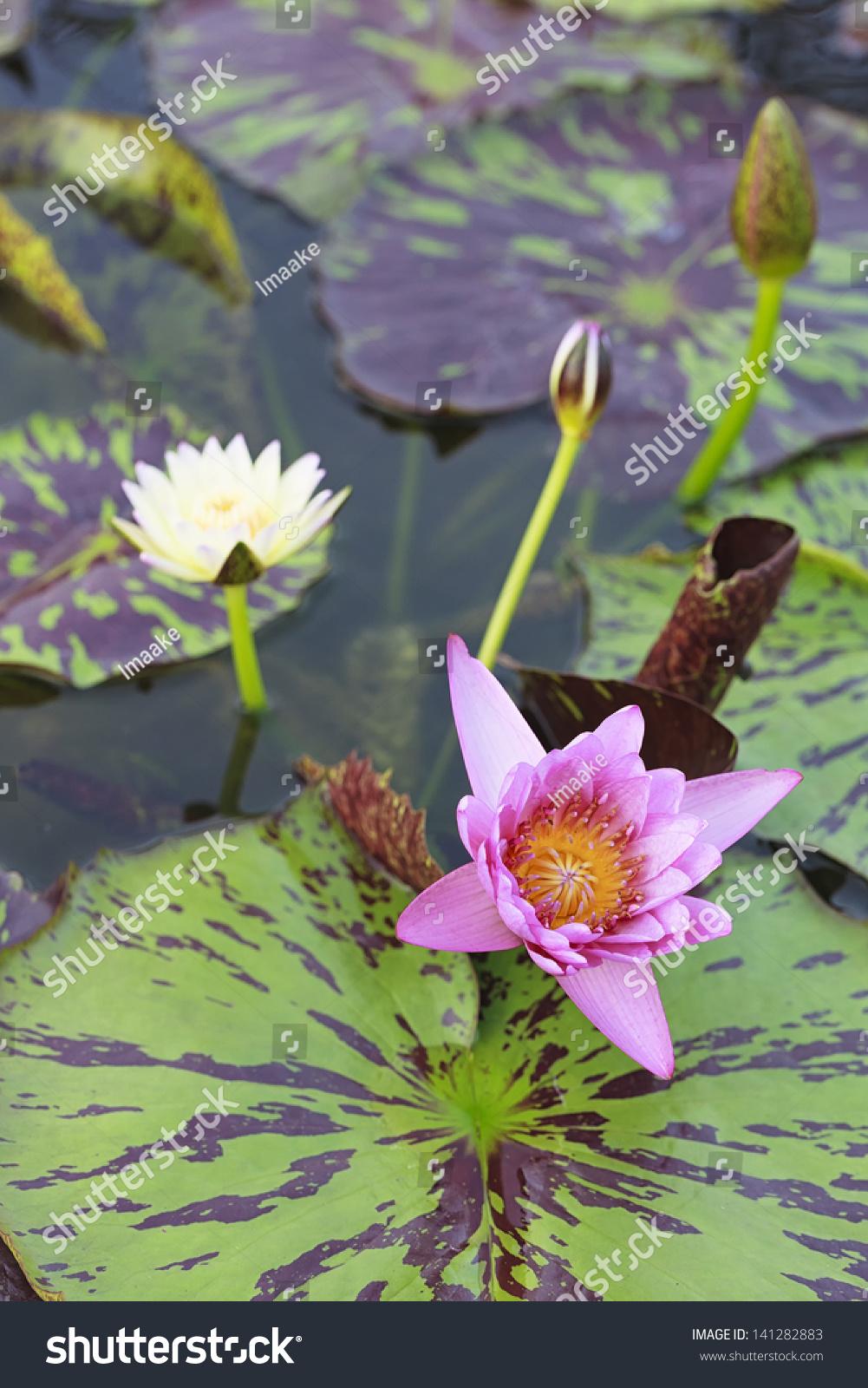 Blossom Lotus Flower Japanese Pond Focus Stock Photo Edit Now
