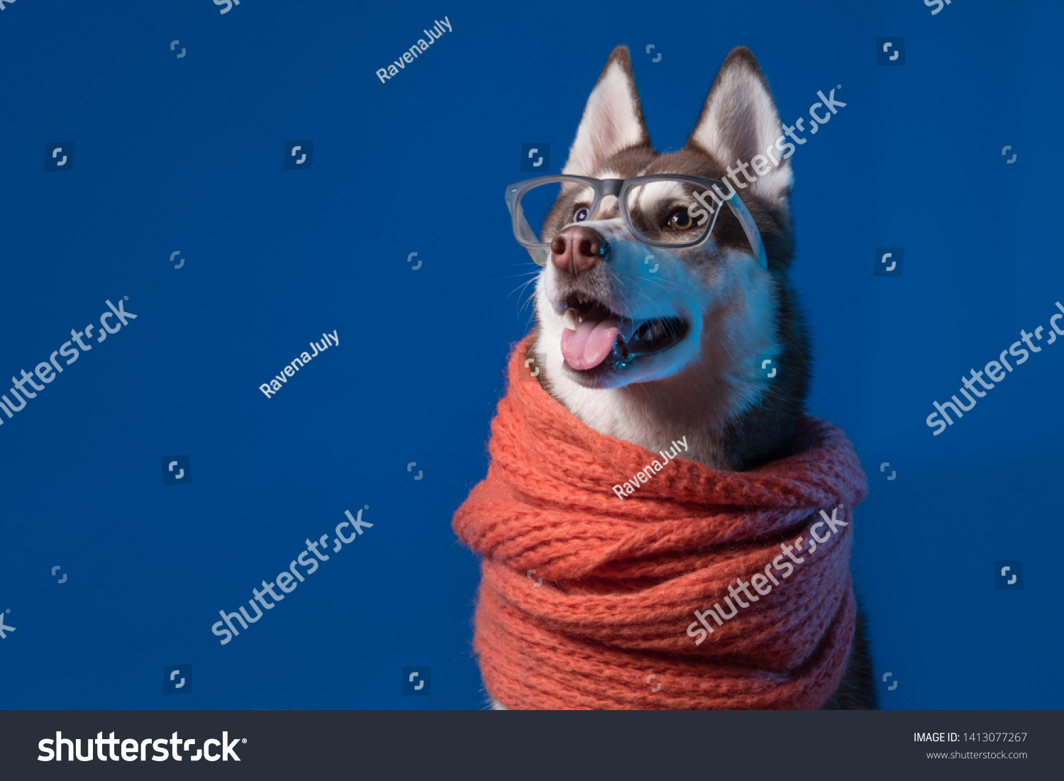 Adorable Siberian Husky dog with warm orange scarf and glasses on blue background. Dog looks left