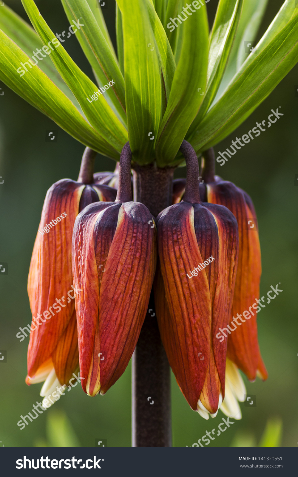 Crown Imperial Flower Kaiserkrone Stock Photo Royalty Free