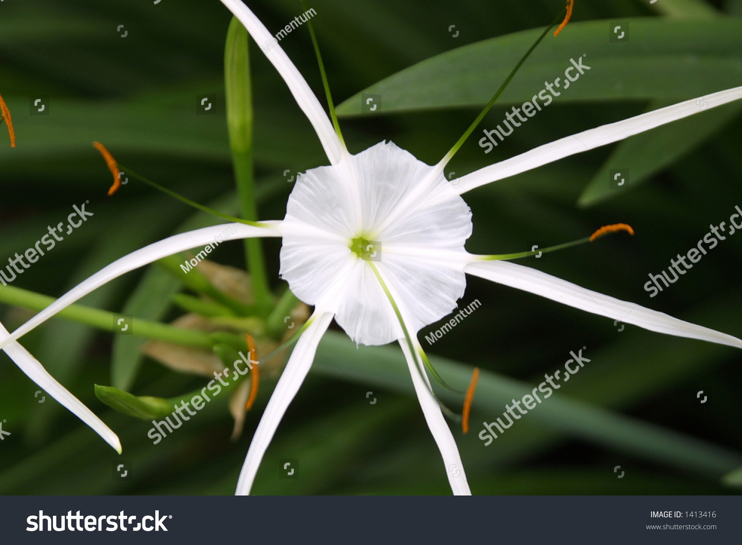 Exotic white flower spider stock photo edit now 1413416 shutterstock exotic white flower the spider mightylinksfo