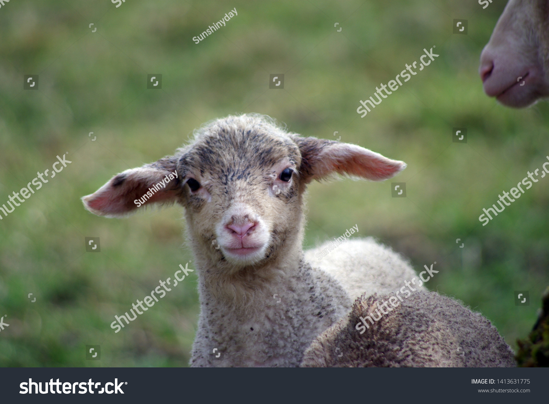 stock-photo-dirty-little-lamb-flock-of-s