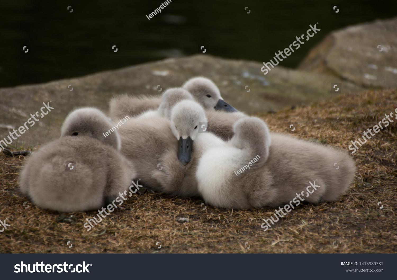 stock-photo-few-weeks-old-mute-swan-fluf