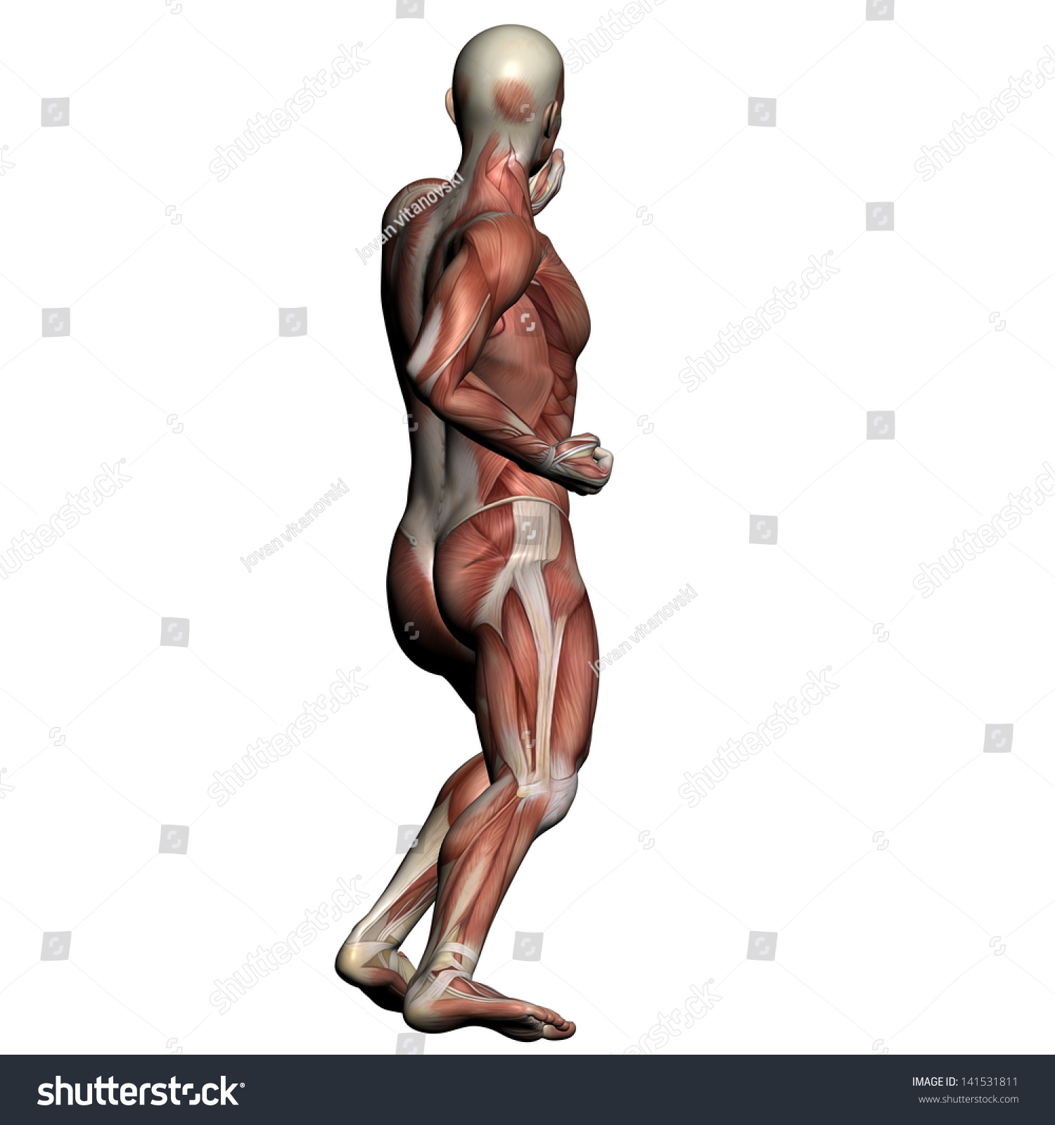 Human Anatomy Male Muscles Made 3 D Stock Illustration 141531811